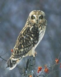 Short-eared_Owl_g14-12-019_l