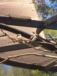 san diego zoo kookaburras